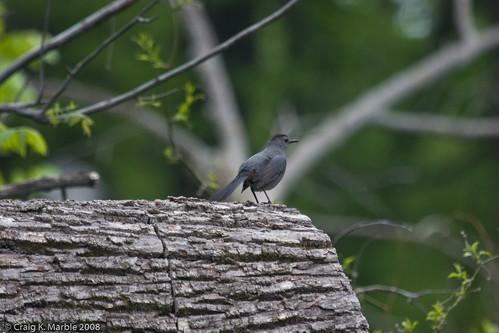 Gray Catbird-2