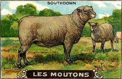 mouton 7
