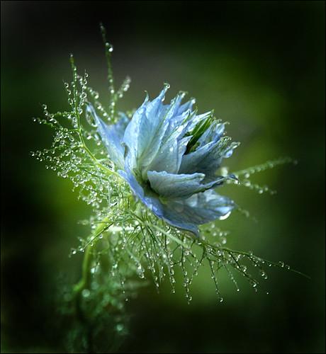 flower 157 barto
