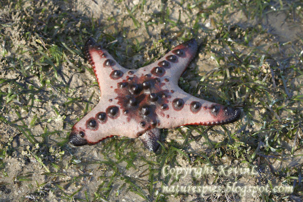 IMG_1290_Knobbly_sea_stars-regrow_arm