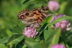 American Painted Lady (codebetter) Tags: macro butterfly paintedlady