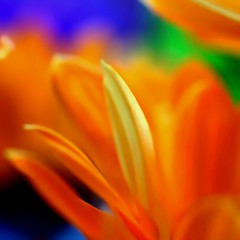 vividness (janoid) Tags: orange macro beautiful explore lovely xoxo excellence wowzer janslightstyle janalicious janoidmagic janoidsstyle iseetheheart icameoutofhiatustoleavesometags