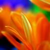 vividness (janoid) Tags: orange macro beautiful explore lovely xoxo excellence wowzer janslightstyle janalicious janoidmagic janoidsstyle iseetheheart icameoutofhiatustoleavesometags