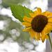 Sunflower - HBW