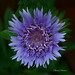 Stokesia macro in my balcony