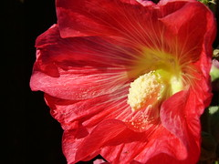 Hollyhock (Michael Gwyther-Jones) Tags: flower hollyhock naturesfinest diamondclassphotographer flickrdiamond
