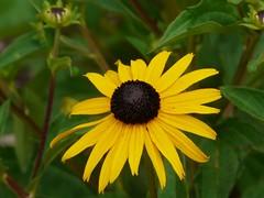 Black Eyed Susan (Lea and Luna) Tags: flower yellow blackeyedsusan