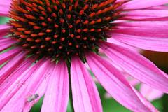 rode zonnehoed (Dimormar!) Tags: flowers flower macro bloemen roze bloem zonnehoed