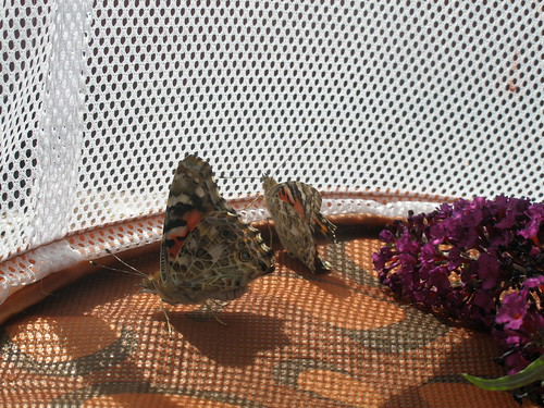 Two butterflies have emerged