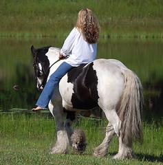 Gypsy stallion D'Jango Jazz (The Pelton Vanners Gypsy Vanner Horses) Tags: horses horse stallion gypsyvanner gypsyhorse gypsycob gypsystallion