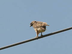 likely Broad-winged Hawk