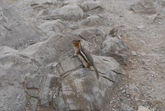 A Golden Mantled Ground Squirrel Poses (peanutian) Tags: banff goldenmantledgroundsquirrel