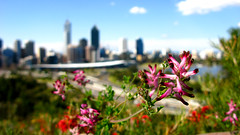 Kings park (Filor) Tags: park flower canon bokeh oz under australia down powershot explore kings perth western wa aussie occidentale afs g9 intercultura esplora filor waati