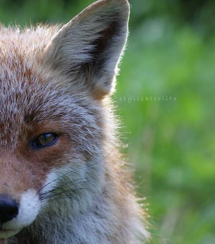 Swiss Fox