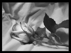 Rose (connor.murphy.photography) Tags: pink b shadow blackandwhite bw white black flower me leaves rose dark studio flickr mood tag w group tags frame backdrop loves agent pedal groups protege lovesmenot blackwhitephotos agentprotege protegestudios leavesandrose leavesrose