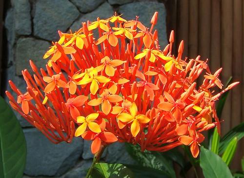 Divine orange: Ixora coccinea. Puri Mas, Lombok, Indonesia