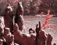 Cypress stump (RedRangerXXIV) Tags: canon river georgia is powershot stump albany cypress flint s5