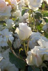 Sunlit white rosebud