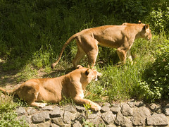 Kyiv zoo. Lions