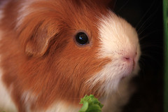 Cuddles the Guinea Pig Approves