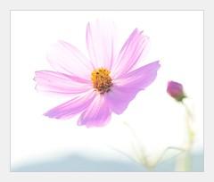 Shining in the air (shinichiro*) Tags: flower macro japan tokyo nikon saitama 2008 crazyshin d3  masterphotos makroplanart1002zf ds18591