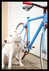 Custom Langster  IMG_1216 (kingpinphoto) Tags: dog bike puppy sweet ollie fixedgear joeldidriksen wwwkingpinphotocom districtcyclescom