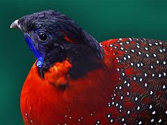 Bird 11 (Franz Immoos) Tags: bird birds vogels franz phesant western vögel vogel melanocephalus fasan tragopan tragopansatyra immoos