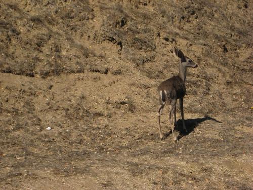 Camino Alto Baby Deer