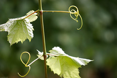 _MG_6916 (findingbalance) Tags: vineyard vines wine harvest winery grapes grapevine wineart whidbeyislandwinery