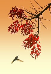 Japanese silk painting (tinica50) Tags: nature hummingbird beijaflor inspiredbylove flickrsbest visõesdanatureza goldstaraward