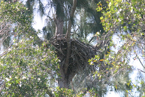 Bald Eagle Nest 20081017