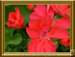 P2030402 GERANUIUMS IN A GOLD FRAME (Frozen in Time photos by Marianne AWAY OFF/ON) Tags: flowers red flower nature geraniums redflowers framedphotos grandmasflowers nationalgeographicwannabes floweraddicts flowersarebeautiful flowersallkinds ilovemypics flowersarefabulous photowatermarkframes naturegreenstar nationalgeographiswannabes