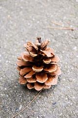 Spruce Cone (Emilie Nuka) Tags: nikon d40 sprucecone