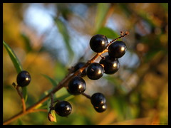 Black berries (ExeDave) Tags: uk autumn fab england plant nature fruit evening berry flora october berries olive explore devon gb shrub scrub lateafternoon hedgerow starcross oleaceae slightcrop interestingness500 hbw teignbridge mywinners ligustrumvulgare wildprivet moreorlessastaken