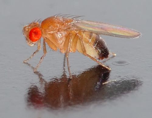Drosophila melanogaster (Fruit Fly)