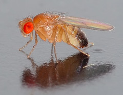 01 Drosophila melanogaster by Image Editor, on Flickr