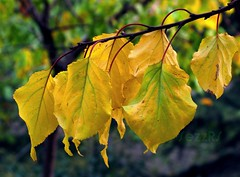 Time to fall (SezzRS) Tags: autumn fall leaves yellow exp sar yapraklar sonbahar g9 canong9 fotografca timetofall