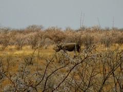 Namibia 08 060 2 (lilh4ft9) Tags: animals namibia blackrhino