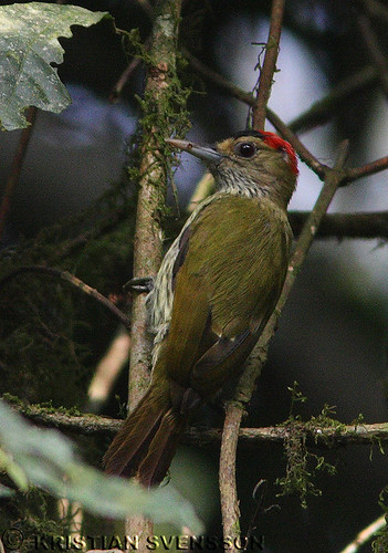 Elliot's Woodpecker (Dendropicos elliotii elliotii) by macronyx.