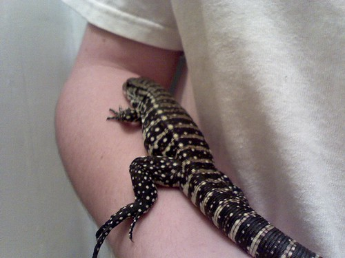 More Pics of My Baby Blue Tegu from DaveDragon • Bearded