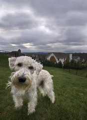 Teddy out in the yard (dog ma) Tags: dog pet teddy wheatenterrier dogma wheaten winterweather petportrait cloudyskies sigma1020 nikond80 impressedbeauty karmanominated pfogold beautifulworldchallenges