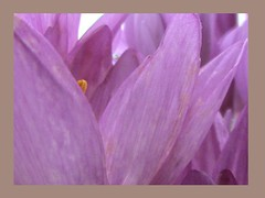 Autumn Crocuses Up Really Close Framed 001 (Chrisser) Tags: flowers autumn ontario canada nature photoshop garden gardening fourseasons closeups colchicum iridaceae flowerfactory framedphotos autumncrocuses sonydcrsr62 sonyphotographing saffroncrocuses sonyphotosallday
