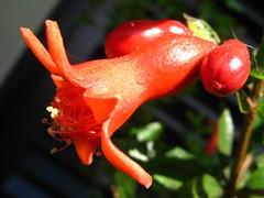 Pomegranade FLOWER (Punica granatum), little rom, my balcony, S. Paulo Brazil. Asia / Mediterranean region native tree. (mauroguanandi) Tags: rom pomegranade millefiori lythraceae punicagranatum mimamorflores