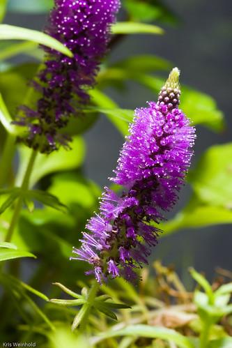 Rotala verticillaris Flower