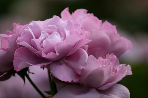 Beautiful Flowes: The most beautiful purple flowers and roses pictures