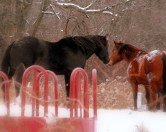 Love is in the Air    :) (**Ms Judi**) Tags: trees winter boy red horses horse white snow black cold love girl beautiful wisconsin wonderful weeds midwest kissing couple colorful mare branch branches adorable feeder ears pony romantic snowing lovely magical mates inlove blackhorse mane peshtigo delightful horsetail loveisintheair enchanting supershot msjudi stallian peshtigowisconsin finepixs1000fd judistevenson
