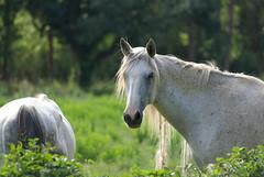 Doux regard (fabdebaz) Tags: cheval distillery 34 chevaux aficionados hérault sudouest k10d pentaxk10d justpentax vosplusbellesphotos