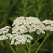 Photo: Achillea millefolium