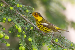 Cape May Warbler adult male (phil.jeffrey) Tags: capemaywarbler dendroicatigrina nyc centralpark springmigration bird avian nature wildlife wwwcatharuscom ny usa setophaga setophagatigrina