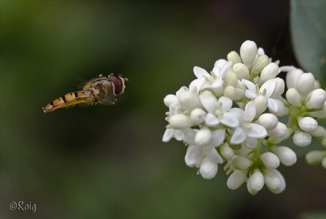 Mosca-vespa al vol